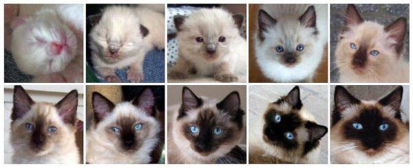 Het kleuren van een kitten van een dag oud op de eerste foto, tot drie jaar oud op de laatste foto.