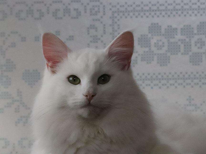 Noorse boskat uiterlijk