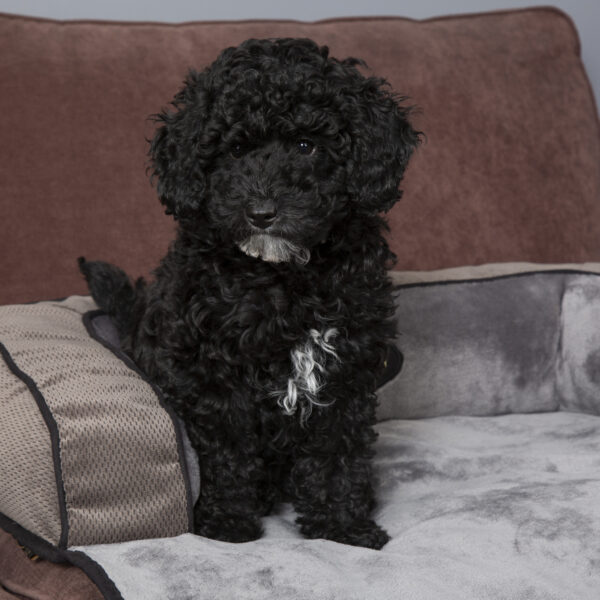Scruffs Chester Sofa Bed